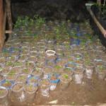 Nabaheng Planten in kweek
