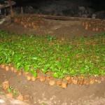 Nabaheng Planten kweken