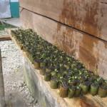 Nabaheng Planten op kweek